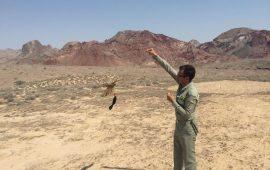 دستگیری پنج نفر از متخلفین زنده گیری پرندگان شکاری در شهرستان بندرلنگه